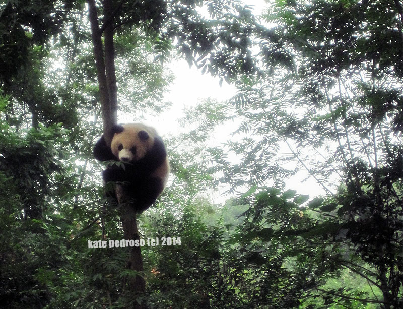 Yes, I know that panda's a great climber, but check out that STURDY TREE yes?